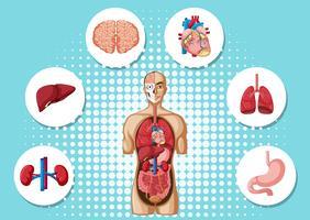 Anatomia humana com diferentes órgãos vetor