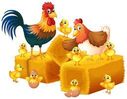 Família de frango no fundo branco
