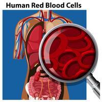 Anatomia dos glóbulos vermelhos humanos vetor