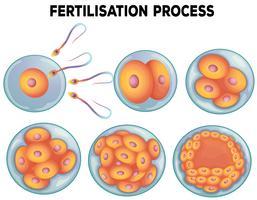 Diagrama do processo de fertilização vetor