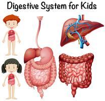 Sistema digestivo para crianças vetor