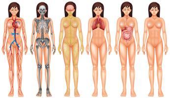 Sistema do corpo vetor