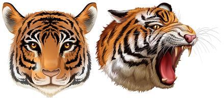 Cabeça dos tigres vetor