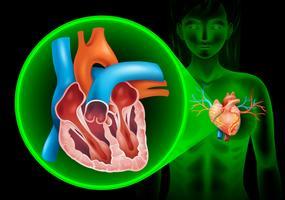 Diagrama de batimentos cardíacos em humanos vetor