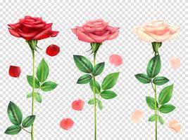 Conjunto de rosas realistas vetor