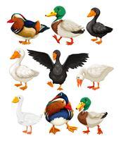 Conjunto de personagem de pato vetor