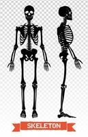 Conjunto transparente de esqueleto humano vetor