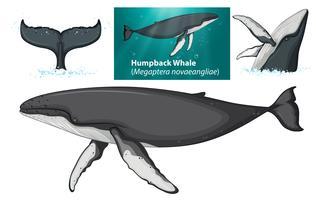 Um, baleia humpback, personagem vetor