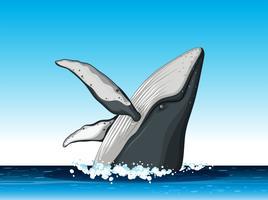 Baleia-jubarte saltar fora da água vetor