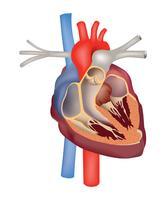 Sinal médico de anatomia do coração. Coração humano, seção transversal, estrutura
