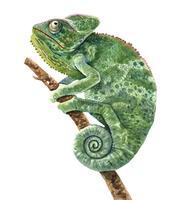Ilustração de aquarela camaleão para impressão.