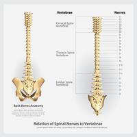 Nervos da coluna vertebral e segmentos de vértebras e ilustração vetorial de raízes