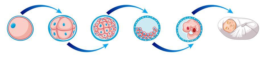 Diagrama de Sciene mostrando como a criança nasce vetor