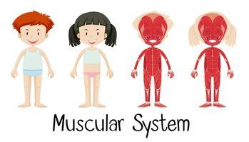 Sistema muscular de menino e menina vetor