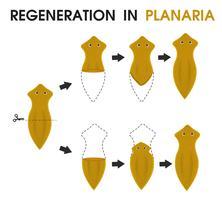 Desenho de ciência ensinando sobre Regeneração no Planaria. vetor