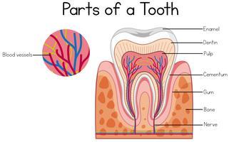 Partes de um diagrama de dente vetor