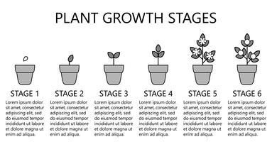 Estágios de crescimento vegetal infográficos. Ícones de arte de linha. Modelo de instrução de plantio. Ilustração de estilo linear isolada no branco. Plantando frutas, legumes processo. Estilo de design plano. vetor