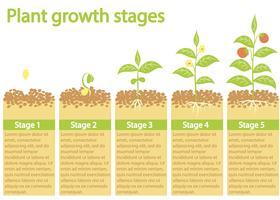 Plantas crescendo infográfico. Processo de crescimento de plantas. Estágios de crescimento de plantas.