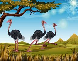 Três avestruzes correndo no campo vetor