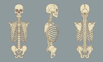 Vetor de pacote de anatomia esquelética do torso humano