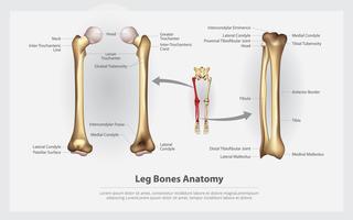 Anatomia humana ossos da perna com ilustração vetorial detalhe