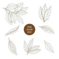 Folha de louro. Conjunto de mão desenhada de ervas cosméticas isolado no fundo branco. vetor