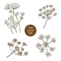 Cominho. Conjunto de mão desenhada de ervas cosméticos e plantas isoladas no fundo branco. vetor
