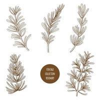 Alecrim. Conjunto de mão desenhada de ervas cosméticos e plantas isoladas no fundo branco. vetor