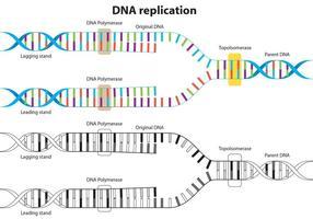 Diagrama de vetor de replicação de DNA