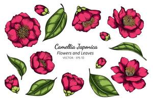 camélia rosa japonica flor desenho vetor