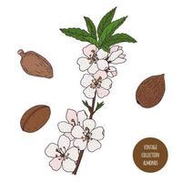 design de botânica vintage de amêndoa vetor