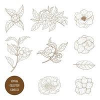 flores de camellia sinensis e coleção de galhos vetor