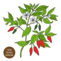 design de planta vintage de pimenta caiena vetor