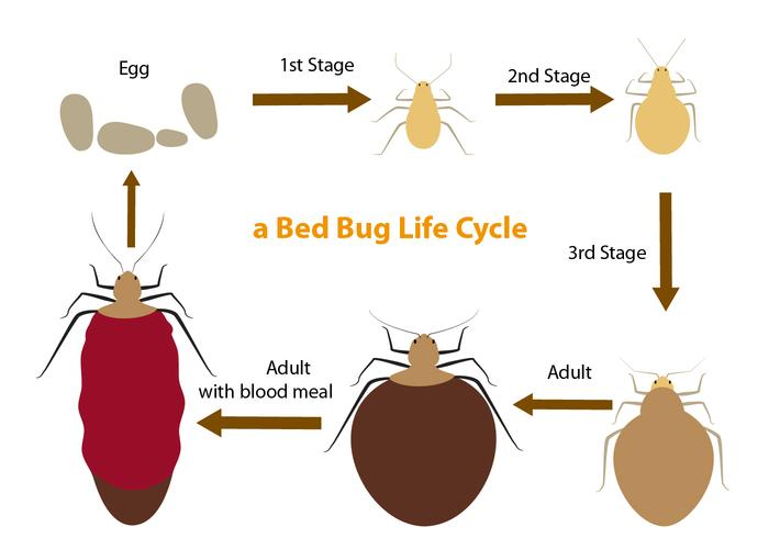 Bed Bug Life Cycle vettore