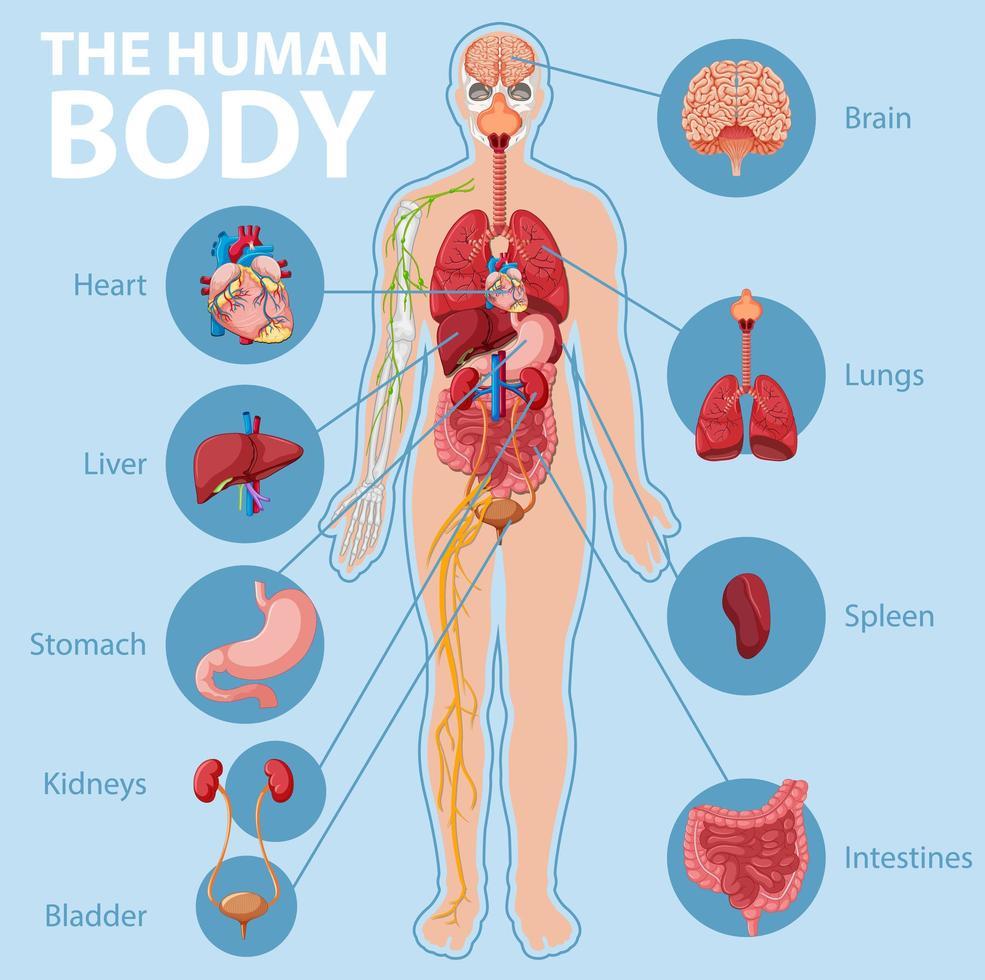 anatomia del corpo umano infografica vettore