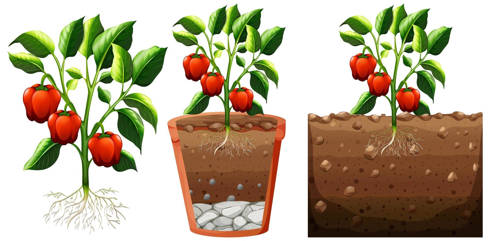 set di pianta di peperone con radici isolate su priorità bassa bianca vettore