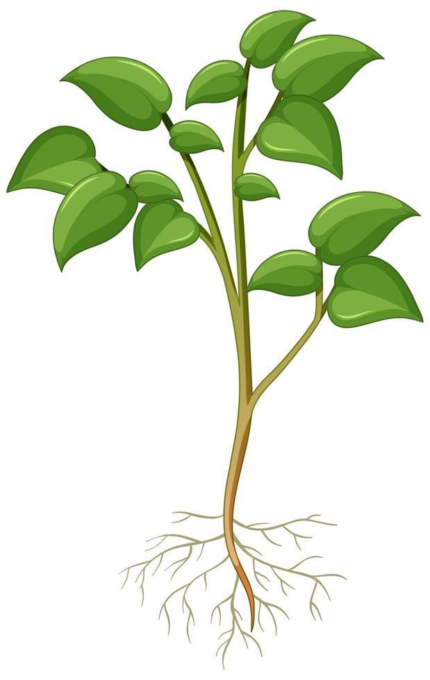 mostrando pianta con radici isolate su sfondo bianco vettore