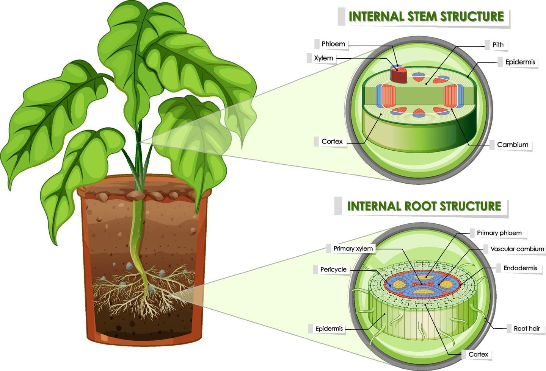 diagramma che mostra la struttura del fusto e della radice vettore