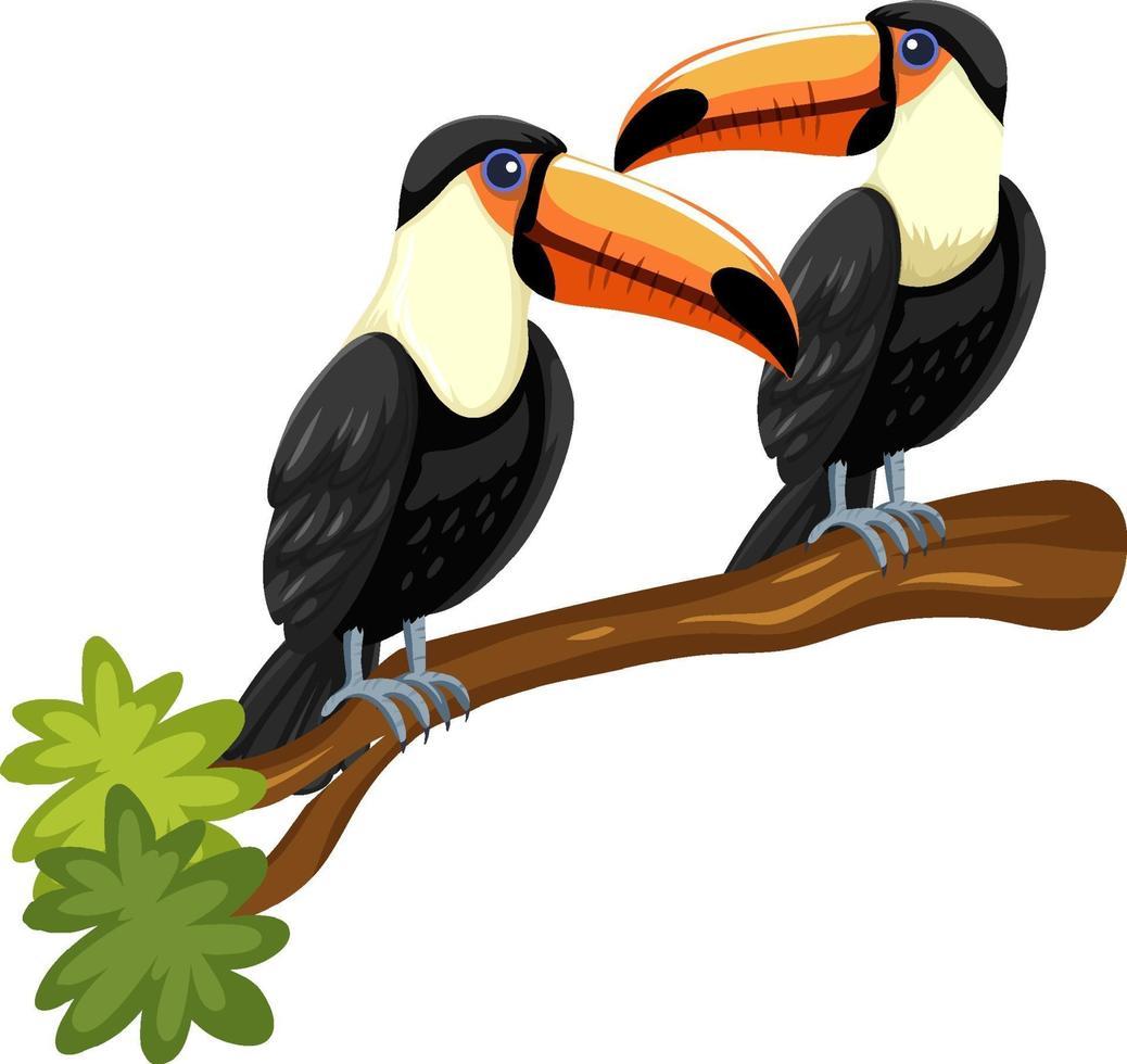 Tucano uccelli su un ramo isolato su sfondo bianco vettore