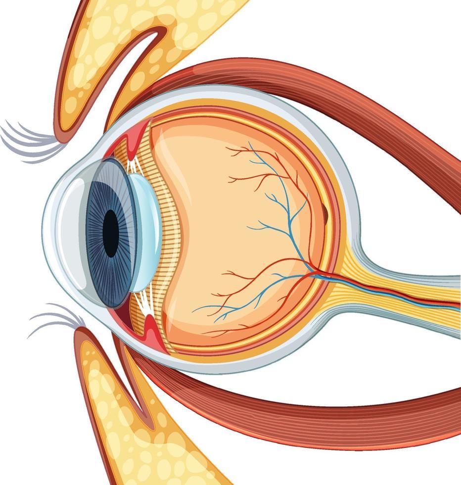 diagramma di anatomia del bulbo oculare umano vettore