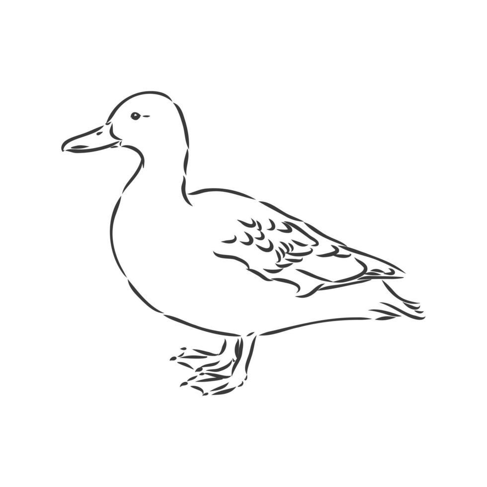 illustrazione vettoriale di schizzo di anatra, isolato su sfondo bianco, vista dall'alto degli animali. anatra disegno vettoriale illustrazione su sfondo bianco