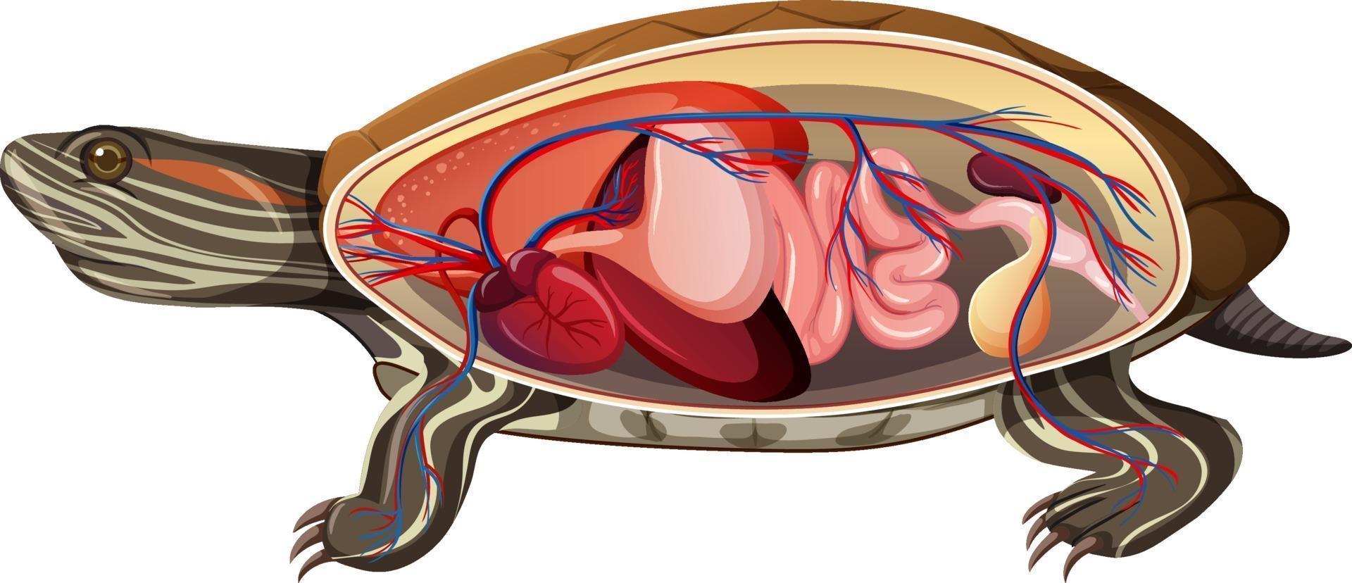 anatomia interna di una tartaruga isolata su sfondo bianco vettore