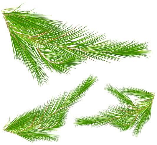 Foglie di pino su sfondo bianco vettore