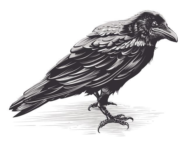 Vector Crow Art su bianco