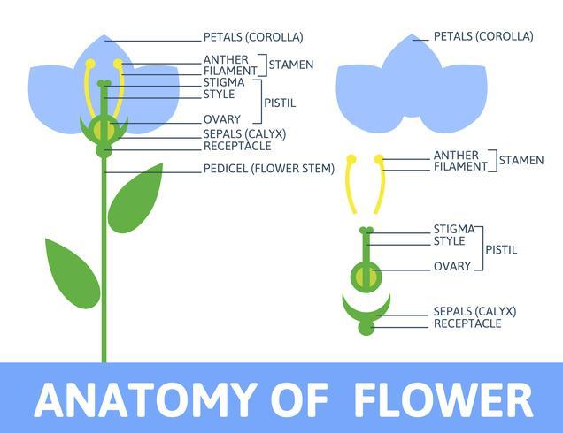 Dettaglio del fiore di anatomia. vettore