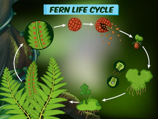Diagramma che mostra il ciclo di vita della felce vettore