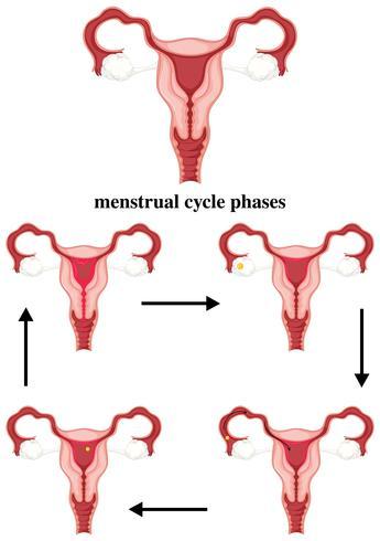 Fasi del ciclo mestruale nell'uomo vettore