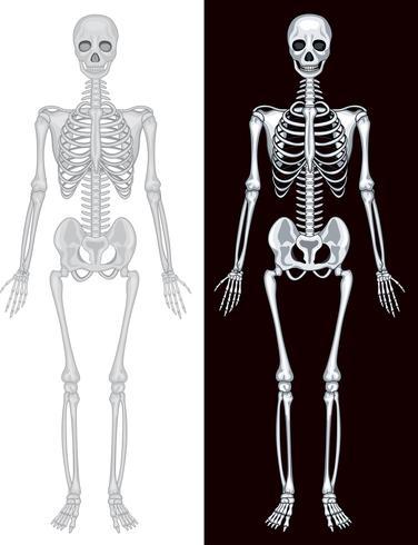 Scheletro umano in sfondo bianco e nero vettore