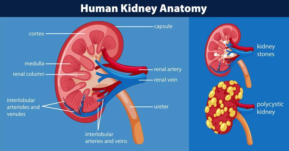 Diagramma di anatomia del rene umano vettore