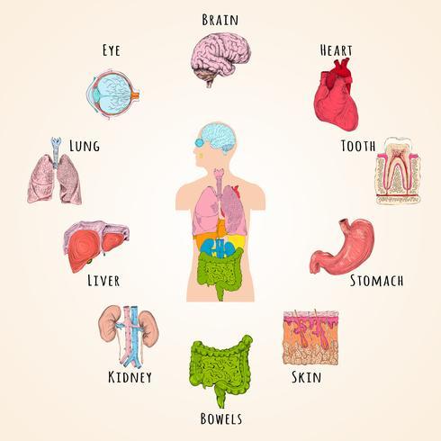 Concetto di anatomia umana vettore